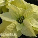 euphorbia pulcherrima lemon snow
