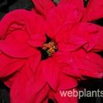 euphorbia pulcherrima renaissance red