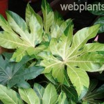 fatsia japonica annelise