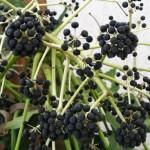 Фатсия плоды