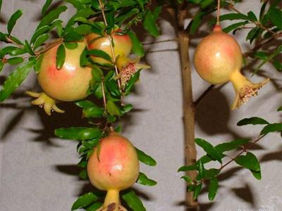 Плоды карликового граната