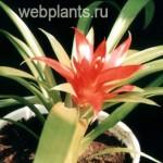 guzmania lingulata scarlet star