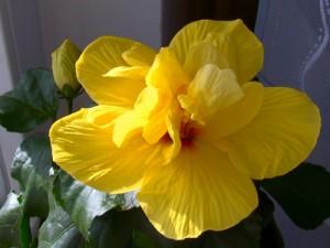 hibiscus koenig