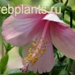 hibiscus la france