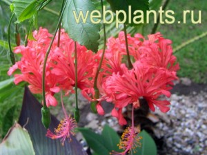hibiscus schizopeialus