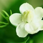Жасмин ароматный цветок