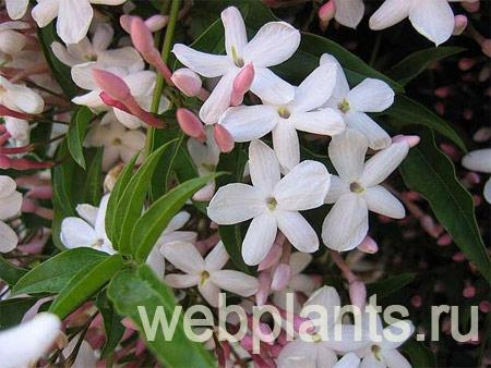 jasmin polyanthum