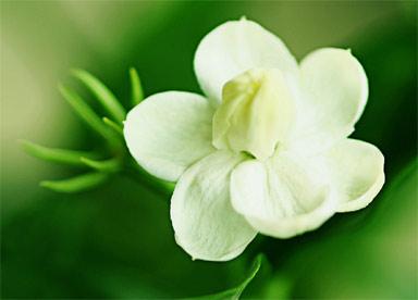 цветок жасмина. фото