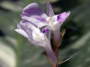 Маранта цветение