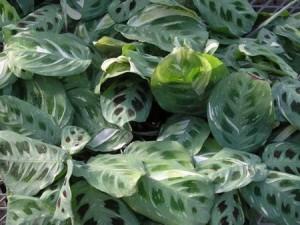 maranta leuconeura variegated