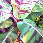 musa acuminata sumatrana