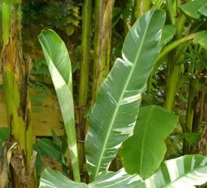 musa paradisiaca