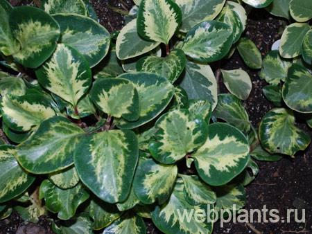 Пеперомия obtusifolia