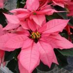 Пуансетия рождественская