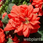 puansetia winter rose dark red