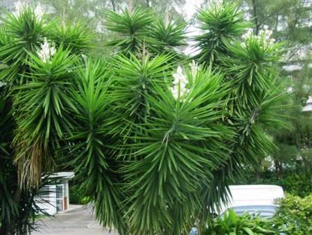 пальма юкка