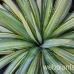 yucca recurvifolia margaritaville