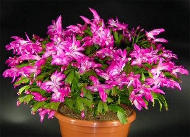 фото кактус декабрист